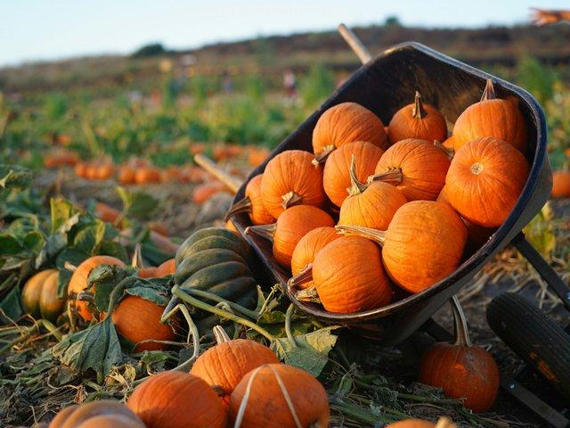pumpkin patch wheelbarrow.jpg